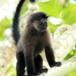 Grey-Cheeked Mangabey - Bigodi Wetlands - Uganda, Africa - Stock Photo
