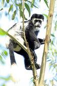 Black and White Colobus - Bigodi Wetlands - Uganda, Africa — Stock Photo