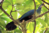 カンムリエボシドリ - bigodi 湿地 - ウガンダ、アフリカ — ストック写真