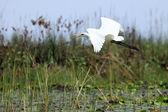 Great White Egret - Lake Opeta - Uganda, Africa — Stock Photo
