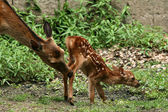 Matka i dziecko jelenia, japonia — Zdjęcie stockowe