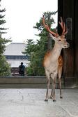 Deer - Todaiji Ancient Temple, Nara, Japan — Stock Photo