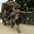 Foto de Stock  : Water Buffalo Ride - Taketomi Island , Okinawa, Japan