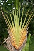 Folha de palmeira - iriomote jima ilha, okinawa, japão — Foto Stock