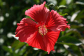 Red Flower - Iriomote Jima Island, Okinawa, Japan — Stock Photo