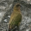 Kea Bird (Mountain Parrot) - Franz Josef Glacier, New Zealand — Stock Photo #12895890