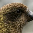 Kea Bird (Mountain Parrot) - Franz Josef Glacier, New Zealand — Stock Photo #12895894