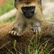 Vervet Monkey - African Wildlife - Stock Photo