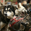 Husky Dog Sledding, Alaska, USA — Stock Photo