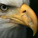 Bald Eagle, Alaska, USA — Stock Photo