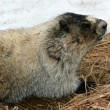 Marmot - Mt Roberts, Juneau, Alaska, USA — Stock Photo