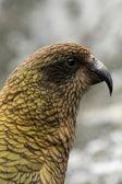 Kea Bird (Mountain Parrot) - Franz Josef Glacier, New Zealand — Stock Photo