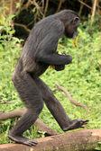 şempanze - uganda — Stok fotoğraf