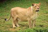 ライオン - アフリカの野生動物 — ストック写真