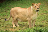 Lion - la faune africaine — Photo