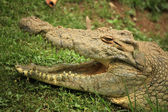Crocodille - vida selvagem africana — Foto Stock