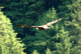 Bald Eagle - Juneau, Alaska, USA — Stock Photo