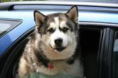 Husky w samochodzie — Zdjęcie stockowe