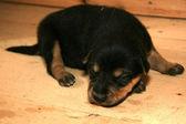 Husky Puppy, Alaska, USA — Stock Photo