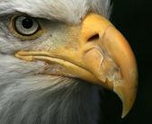 águia careca, alasca, estados unidos da américa — Foto Stock