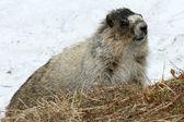 Marmot - Mt Roberts, Juneau, Alaska, USA — Stock Photo