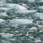 Glacier Bay, Alaska, USA — Stock Photo
