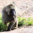 Baboon - Uganda, Africa — Stock Photo #12934376