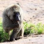 Baboon - Uganda, Africa — Stock Photo