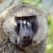 Baboon - Uganda, Africa — Stock Photo #12935226