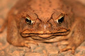 Cane Toad - Kakadu National Park, Australia — Stock Photo