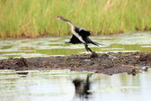 Wildlife - Bisina Wetlands - Uganda, Africa — Stock Photo