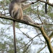 Red Colobus - Bigodi Wetlands - Uganda, Africa — 图库照片