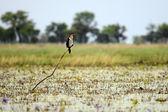 Long Tailed Cormorant - Lake Opeta - Uganda, Africa — Stock Photo