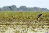Saddle Billed Stork - Lake Opeta - Uganda, Africa — Stock Photo