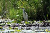 Squaco Heron Bird - Lake Opeta - Uganda, Africa — Stock Photo