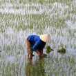 Rice Field, Vietnam - Stock Photo