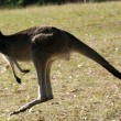 Stock Photo: Grey Kangaroo, Australia