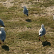 SeGulls - Botany Bay, Sydney, Australia — Stock Photo #13831111