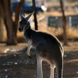 Red Kangaroo, Australia - Stock Photo