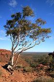 Lone Tree - Kings Canyon, Watarrka National Park, Australia — Stock Photo