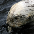 Sea Otter - Vancouver, Canada - Photo