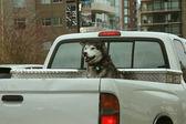 Husky Dog - Vancouver City, BC, Canada — Stock Photo