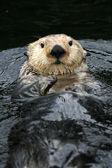 Sea Otter - Vancouver, Canada — Stock Photo