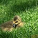 Duckling - Granville Island, Vancouver, Canada — Stock Photo