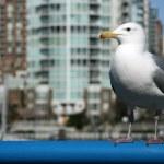 Seagull - Granville Island, Vancouver, Canada — Stock Photo #13961105