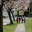 Stock Photo: Cherry Blossoms in Vancouver City, BC, Canada