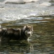 Husky Dog in River Gorge at Lynn Canyon, Vancouver, Canada — Stock Photo