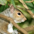 Eastern Grey Squirrel, Canada - Photo