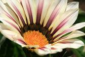 Flower - Butchart Gardens, Victoria, BC, Canada — Stock Photo