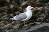 Seagull - Stanley Park, Vancouver, BC, Canada — Stock Photo